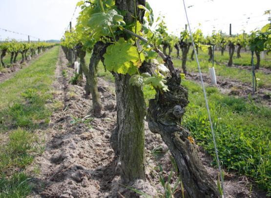 cave bruneau-dupuy - rang de vigne - © sylvain bruneau