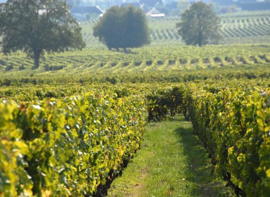maison audebert - vignes - © francois audebert