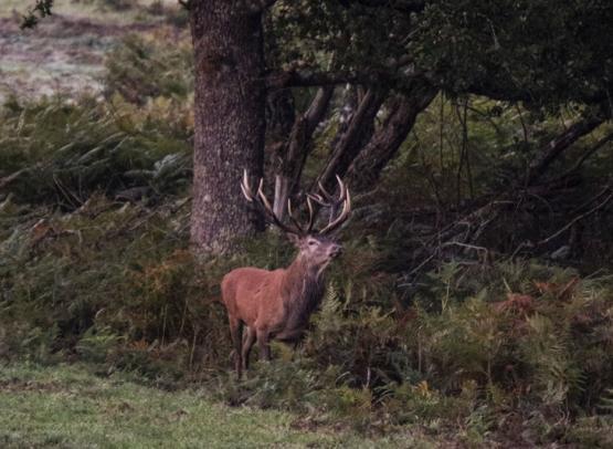DECOUVERTES SOLOGNE NATURE - LE BRAME DU CERF RIAL LOVER A LA FERTE-SAINT-CYR