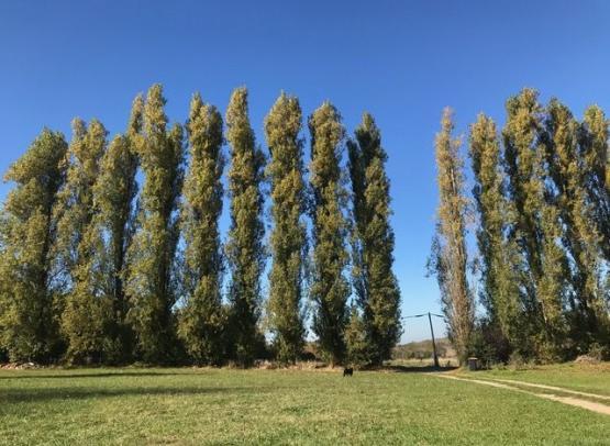our-poplars
