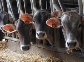 vaches-ferme-un-brun-de-lait-DEG-49